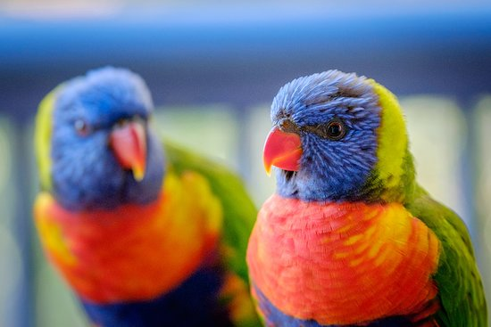 Sanctuary Lake Apartments: Lorikeets captured on unit balcony