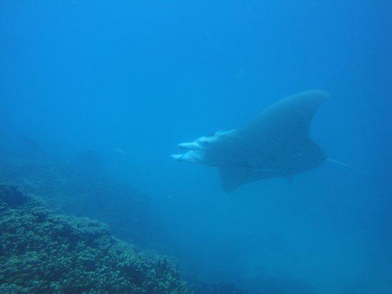 Top Dive, Bora Bora: Manta Ray at Anau dive site Bora Bora
