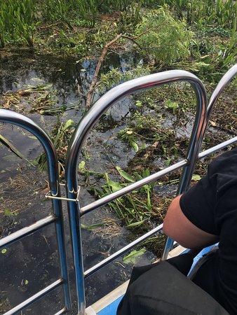 Lake Panasoffkee, فلوريدا: Alligators out great