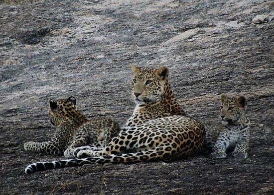 Bera, Indien: Jawai Leopard Safari (Female with her cubs