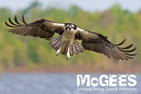 Don T Forget To Look Up Osprey And Dozens Of Other Large Birds Fill The Skies Picture Of Mcgee S Louisiana Swamp Airboat Tours Henderson Tripadvisor
