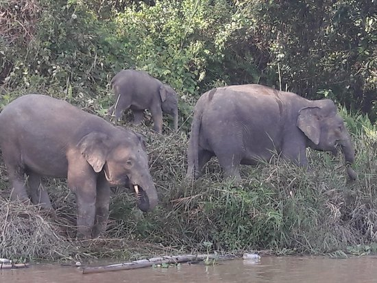 Pygmy elephants - Picture of Abai Jungle Lodge ...