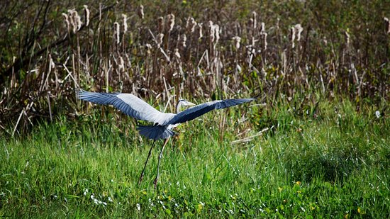 DeLand, FL: Great Blue Heron in flight