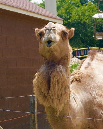 Moseley, VA: camel