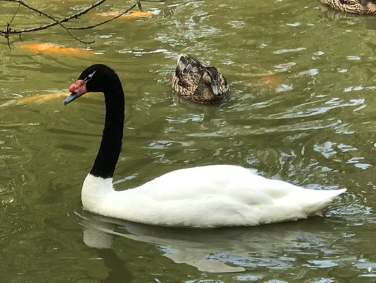 Moseley, VA: swan