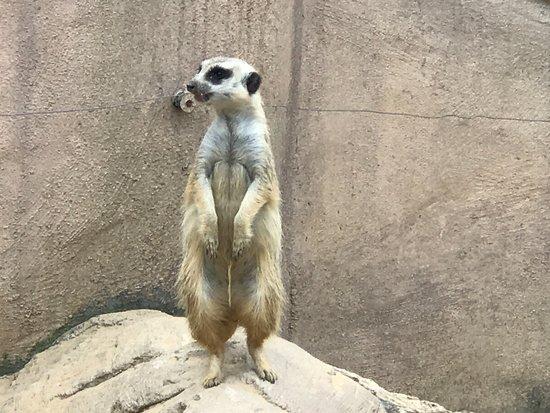 Moseley, VA: meerkat