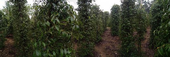 Pangkal Pinang, Indonesia: Pepper farm near Pelawan Forest