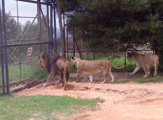 Lion and Safari Park: photo