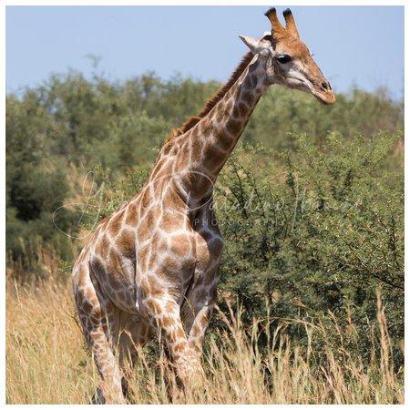 Pilanesberg fauna - We saw so many giraffes!
