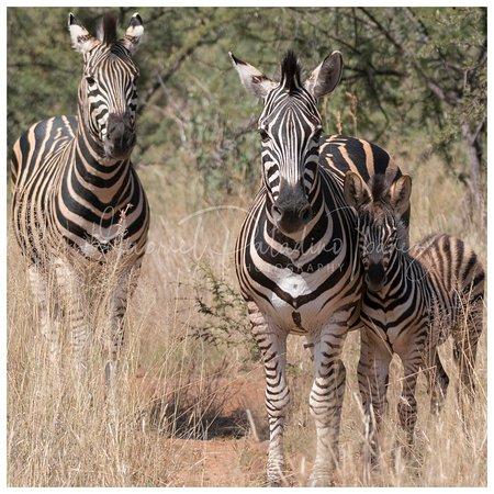 Pilanesberg fauna - Zebra family