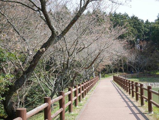 Cherry Trees in Kagamiyama