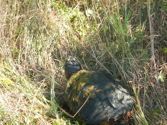 False Cape State Park: Snapping turtle at observation tower.