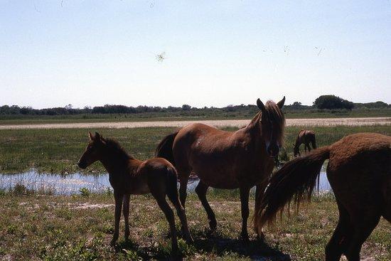 False Cape State Park: Wild horses.