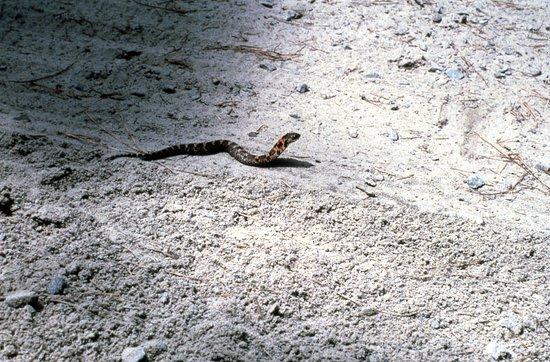 False Cape State Park: Copperhead.