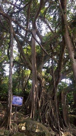 Son Tra Peninsula's Banyan Tree
