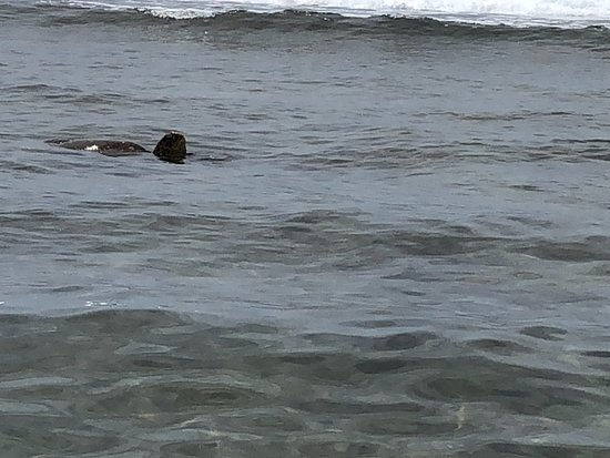 Ka'anapali Beach : Turtles in surf zone, saw 5 feeding along the shore just where the rocks really began.