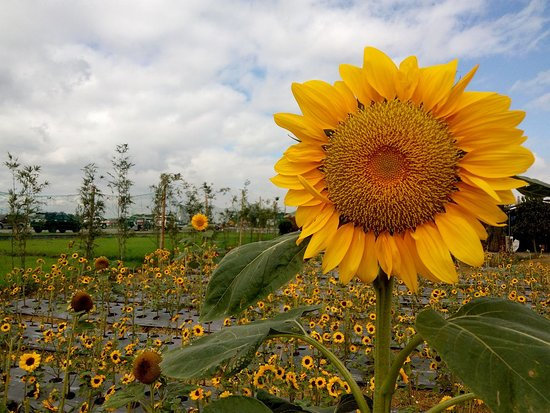 Angel's Sunflower Field