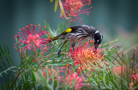 Bedfordale, Australia: New Holland Honeyeater in the grounds