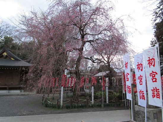 Shiraoka, اليابان: しだれ桜