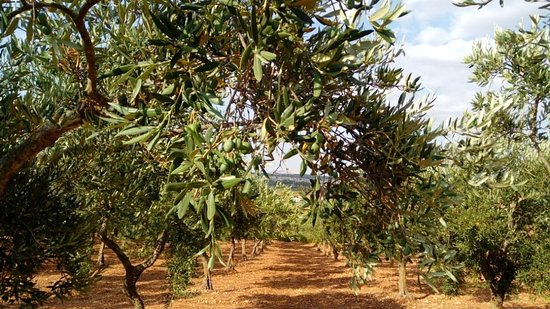 Amodeo's Farm - Olive Oil Producers in Sicily