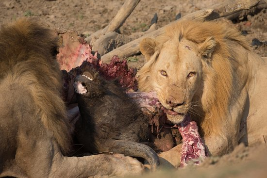 South Luangwa National Park, Zâmbia: lion  eating