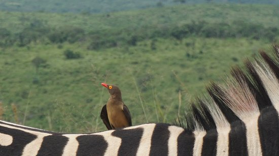 Zululand, África do Sul: caught: guest bird on zebra