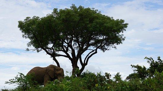 Zululand, Afrika Selatan: Lone elephant bull - 'tradtional' image of wild life