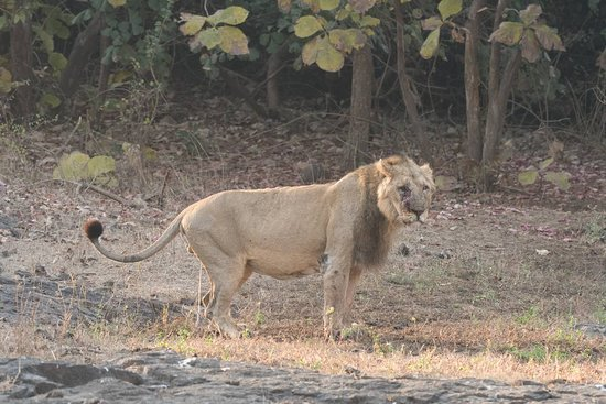 Sasan Gir, Индия: Lion at Gir