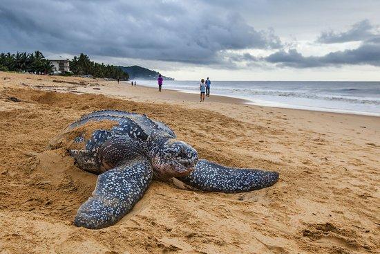 French Guiana: Ponte d'une tortue Luth sur la plage des Salines