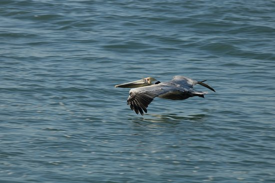Charlotte Harbor Tours: Brown Pelican