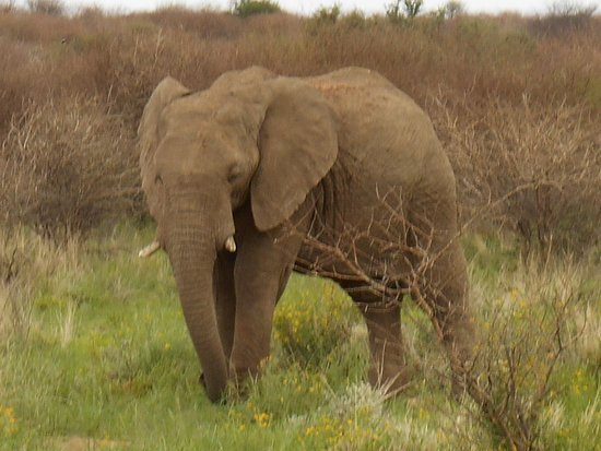 Swakopmund, Namibia: A frisky young bull.