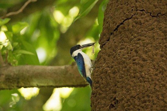Julatten, Australia: Forest Kingfisher feeding chicks inside termite nest on tree