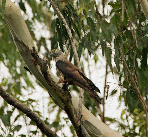 Julatten, Australia: Pacific Baza in tree behind our room