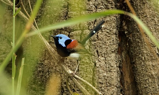 Julatten, Australia: Lovely Fairywren birding with Carol