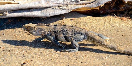 Playa Hermosa: Black iguana