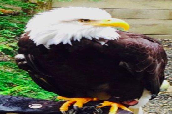 Ketchikan Shore Excursion: Eagle Sanctuary and Rainforest Wildlife...