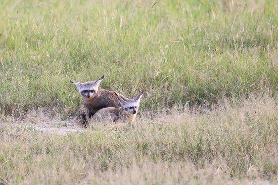 Savute Safari Lodge: Bat-eared fox