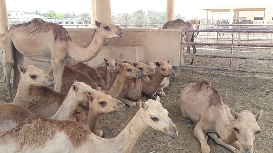 Royal Camel Farm