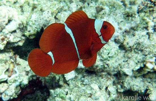 Siladen Resort & Spa: Spinecheek Anemonefish on Siladen House Reef