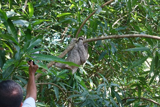 Pineapple Tours: Three toed sloth