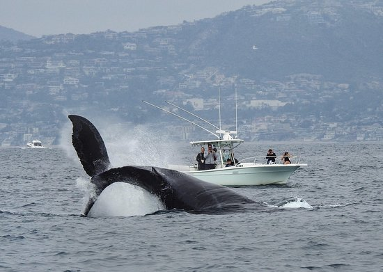 Newport Beach, CA: Humpback Whale reverse breach