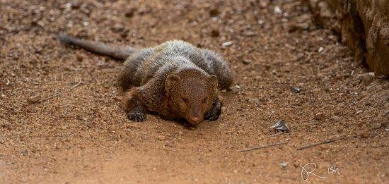Anamaduwa, سريلانكا: A mongoose who decided to doze off near the hut :)