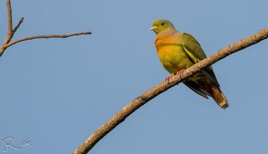 Anamaduwa, سريلانكا: Orange-breasted pigeon