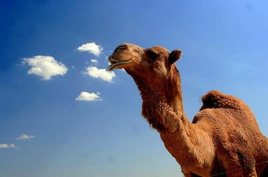 1-Hour Camel Ride Guided Tour from ...