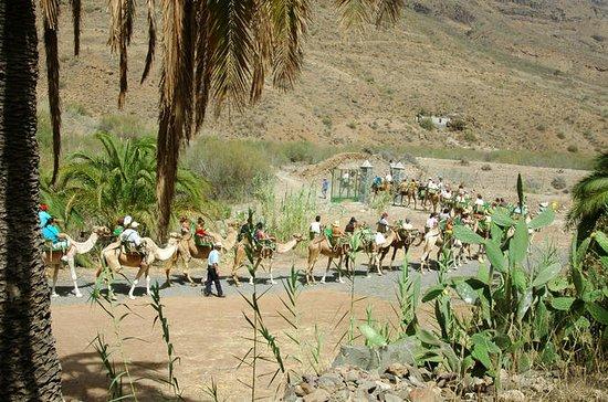 Camel Ride i Fataga med BBQ
