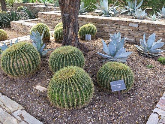 Desert Botanical Garden: Barrel Cactus