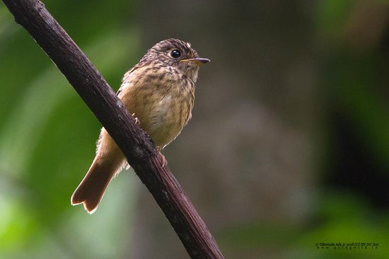 Namchi, อินเดีย: Ferruginous Flycatcher from Bakhim, during bird watching to Maenam WLS