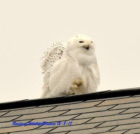 Maryland: Snowy Owl