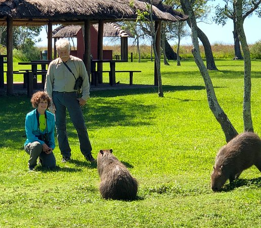 Puerto Valle - Hotel de Esteros : The capybaras are protected in the Ibera Wetlands National Park, so they have no fear of people.