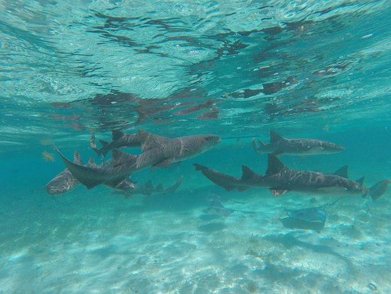 Caye Caulker, Belize: swimming with sharks and rays!